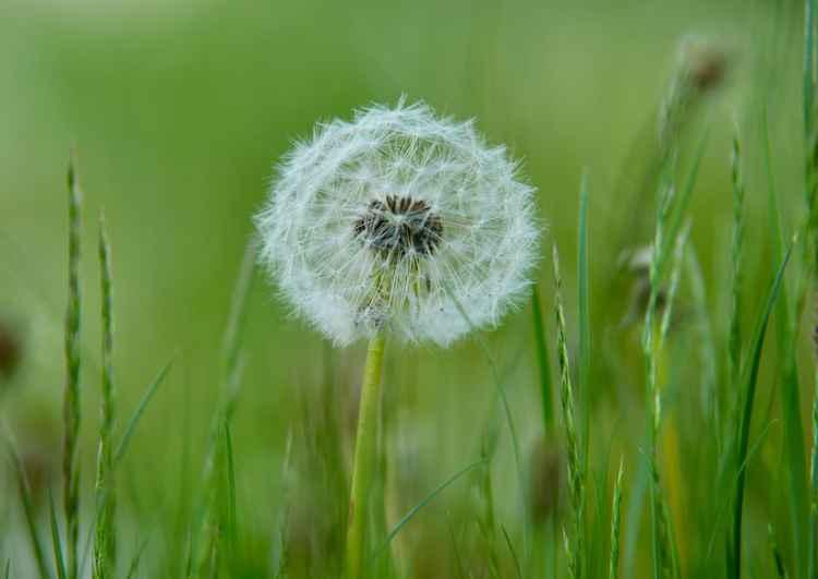 Dandelion  -