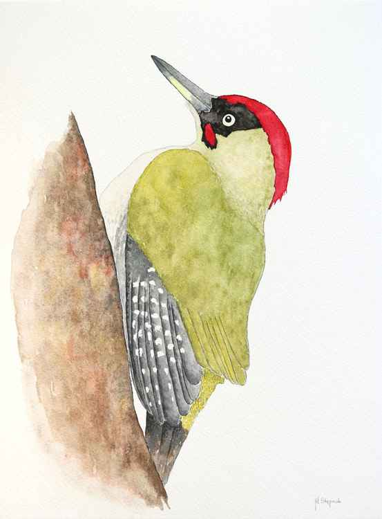 The European green woodpecker (Picus viridis) -