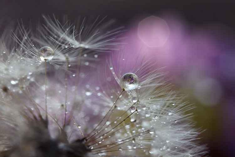 Dandelion glow -