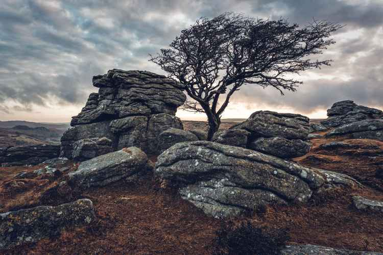 Hawthorne tree -