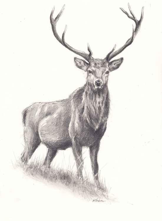 Deer Study -