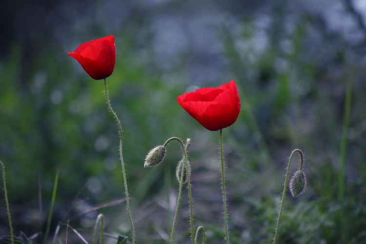 Poppies in May -