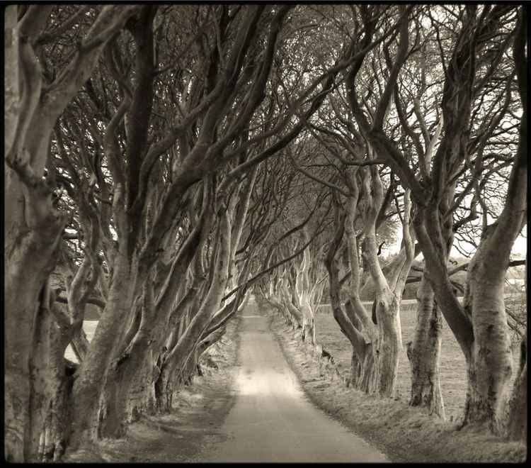 Dar Hedges : County Antrim. Ireland -