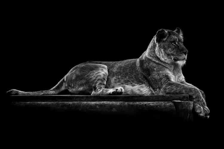 Relaxing Lioness -