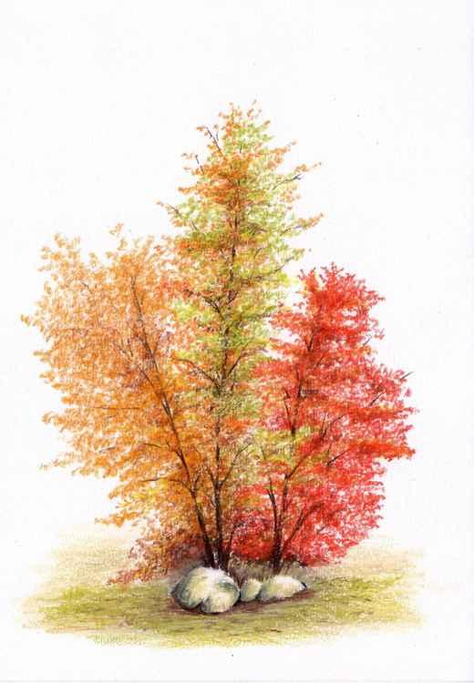 Witch Hazel Tree in Full Bloom