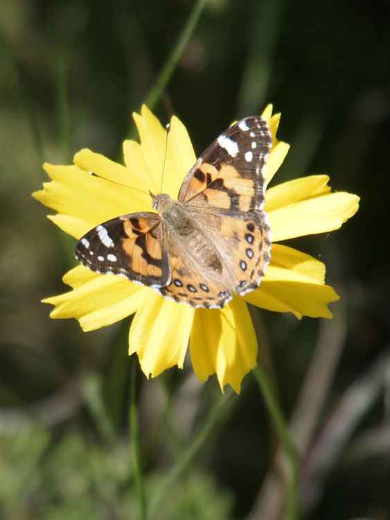 Australian Painted Lady -