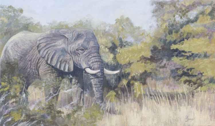 Elephant Matriarch - Africa -