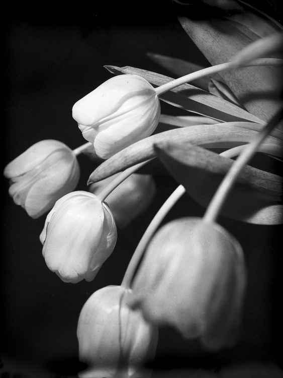 Tulips #2 -