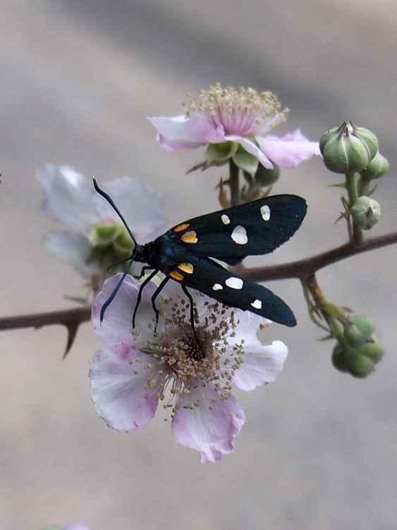 Nine spotted moth -