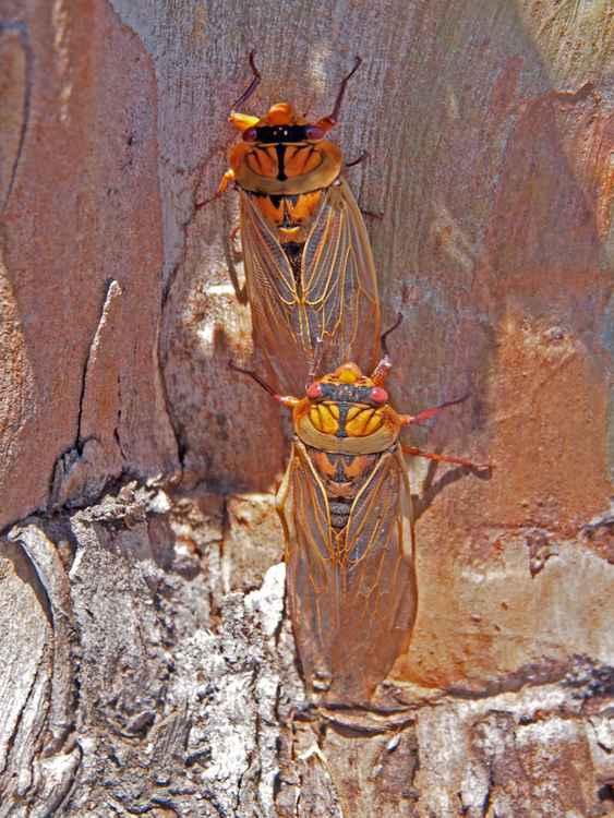 Cicada season -