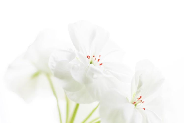 White Geranium I - Image 0
