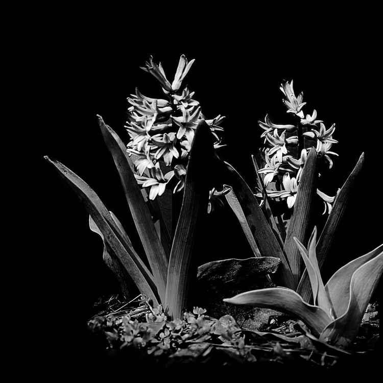Hyacinth -