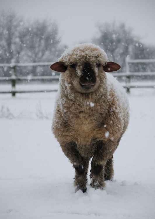 Winter Sheep  -