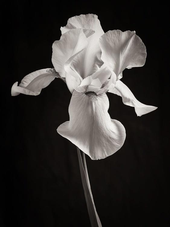 White Iris - Image 0