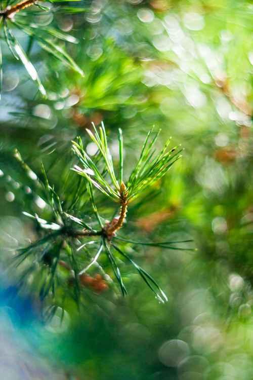 Green Pine -