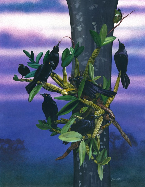 Grackles of the Caribbean - Image 0
