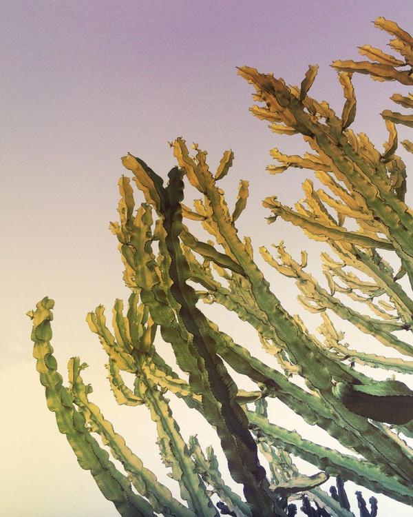 Century Cactus - Image 0