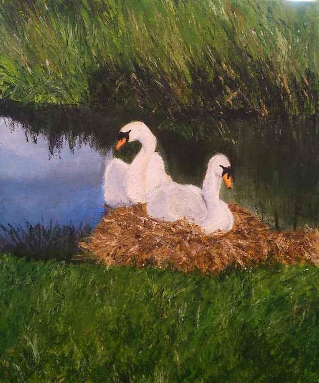 Nesting swans -