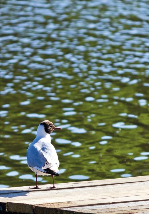 Black-headed gull - Image 0