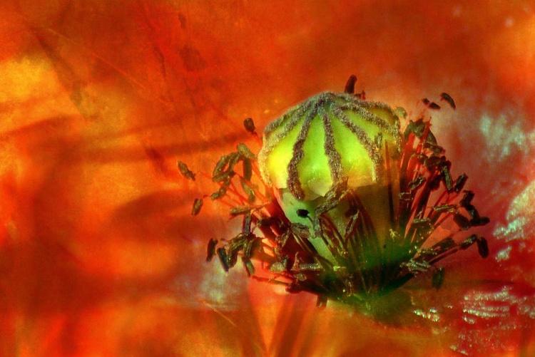 Poppy Seed Capsule - Image 0