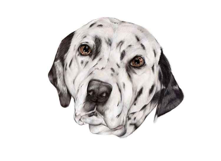 Dalmatian Portrait -