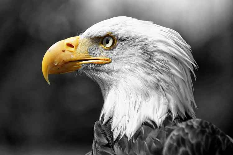 Bald Eagle USA -