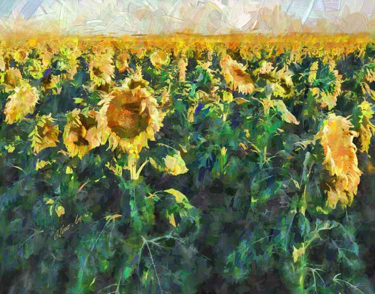 Sunflower Fields -
