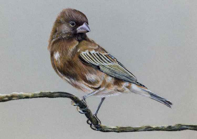 "Original pastel drawing ""Chestnut Sparrow"" -"