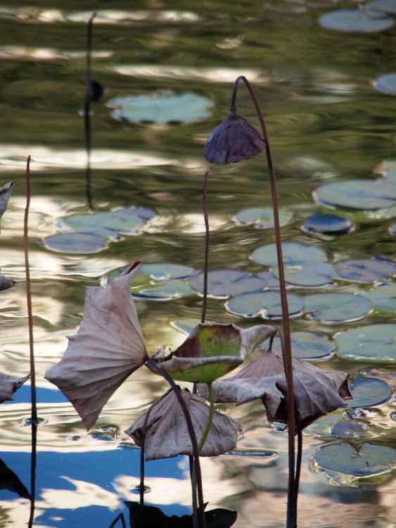 Lotus pond -