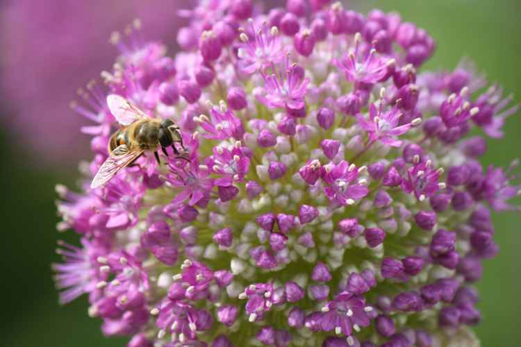 Bee and allium -
