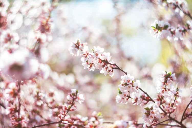 Cherry Blossom V, 2016