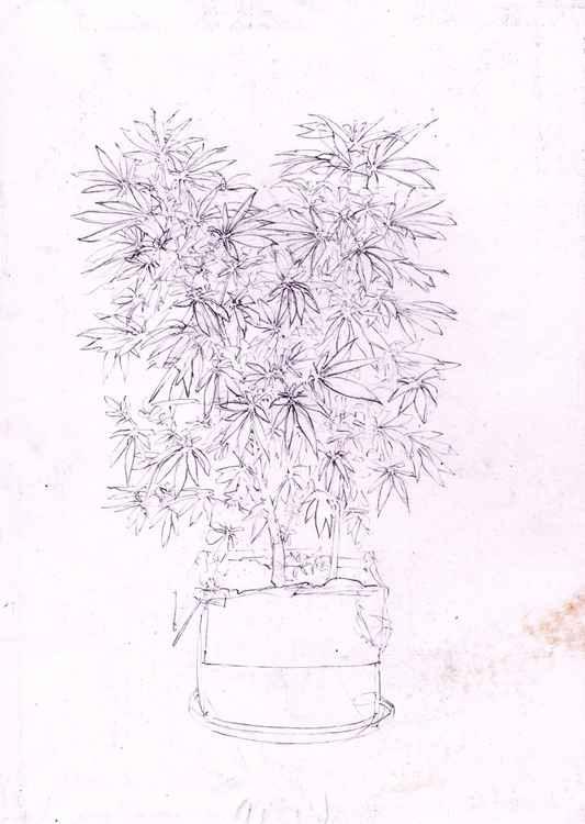 Cannabis Hollandica