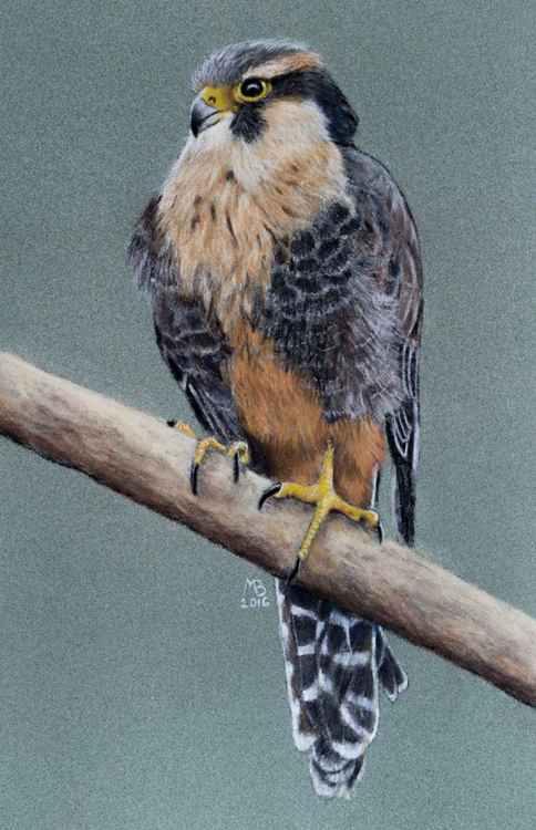 "Original pastel drawing ""Aplomado falcon"""