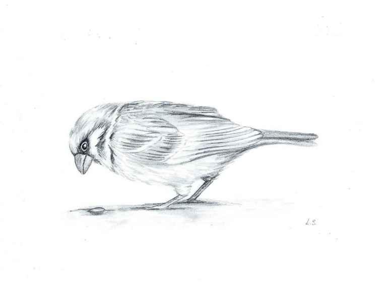 Sparrow. Sketch 4 -
