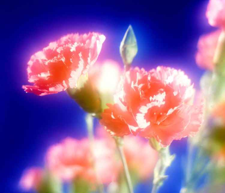Pink Carnations -