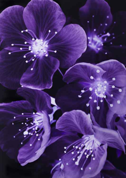 Purple blossum -