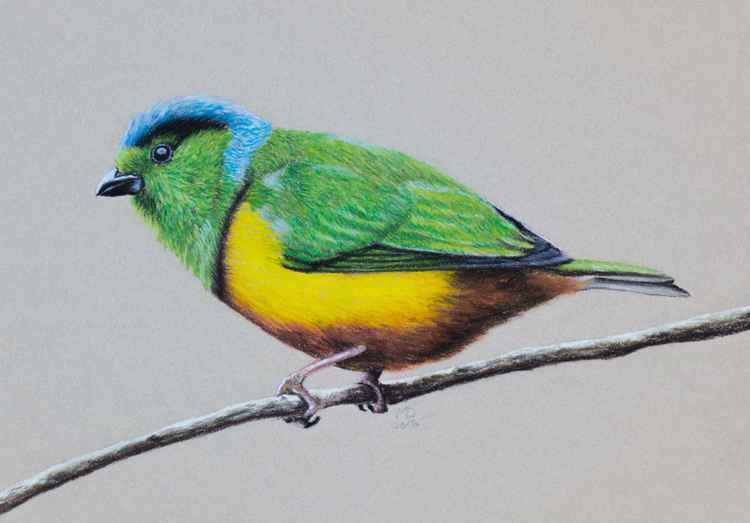 "Original pastel drawing ""Chestnut-breasted Chlorophonia"" -"