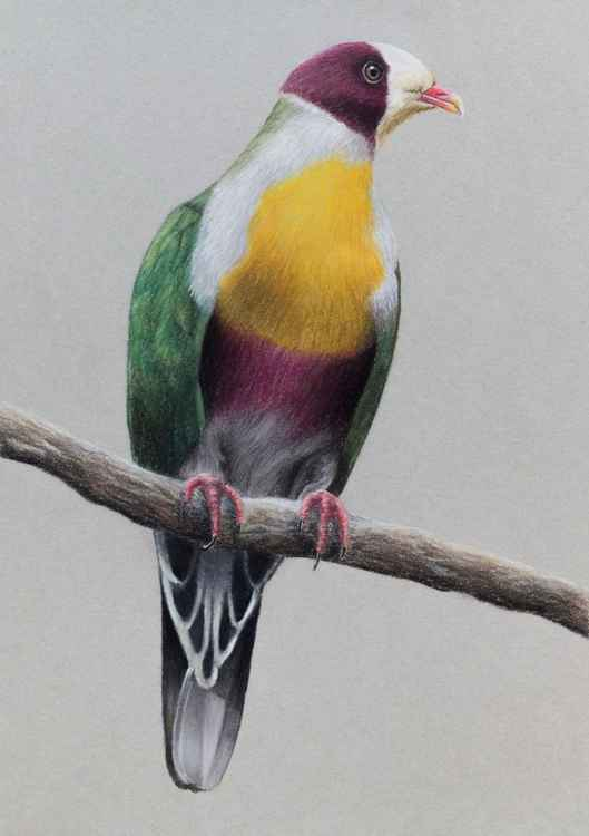 "Original pastel drawing ""Yellow-breasted fruit dove"""
