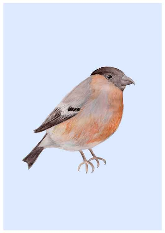 Bullfinch -