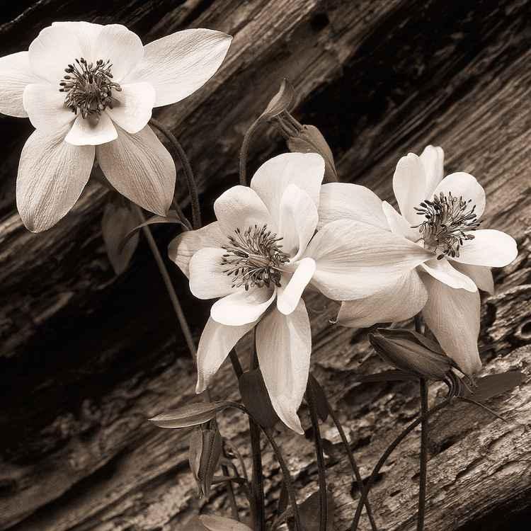 Columbine Flowers -