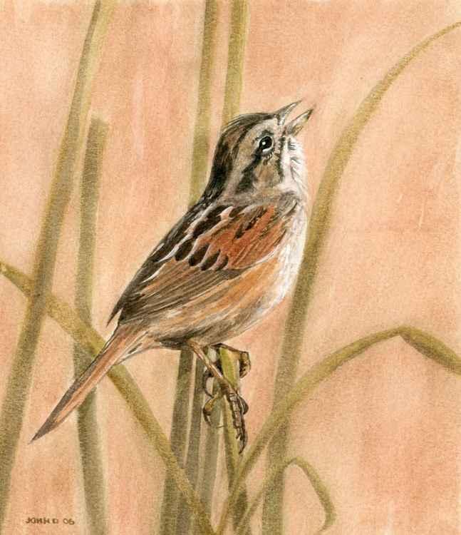 Swamp Sparrow -