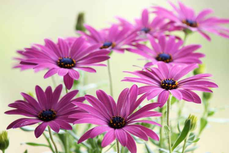 Pink daisies -