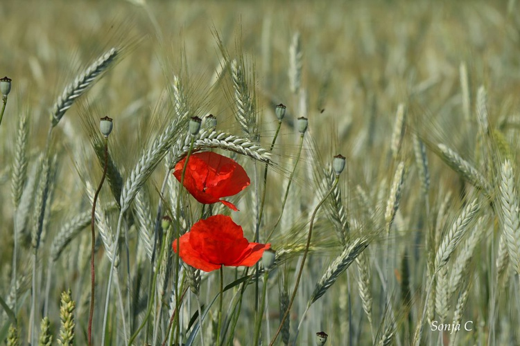 Poppies in the rye - Image 0