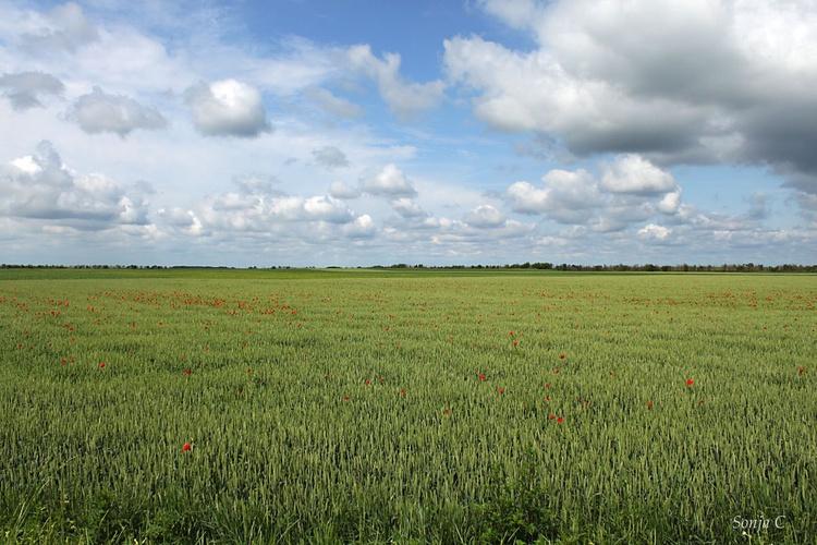 Wheat field - Image 0