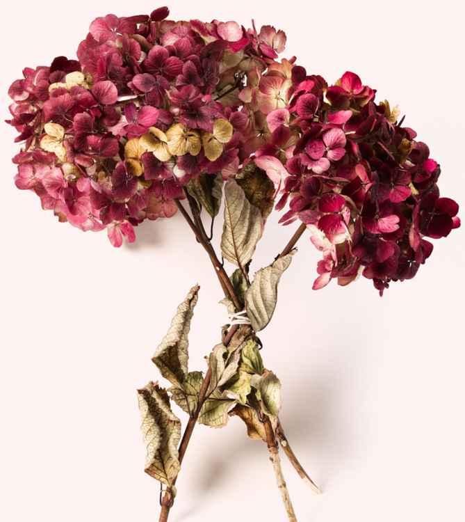 Dried Hydrangea -