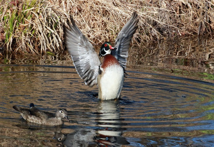 Wood Duck Victory ! - Image 0