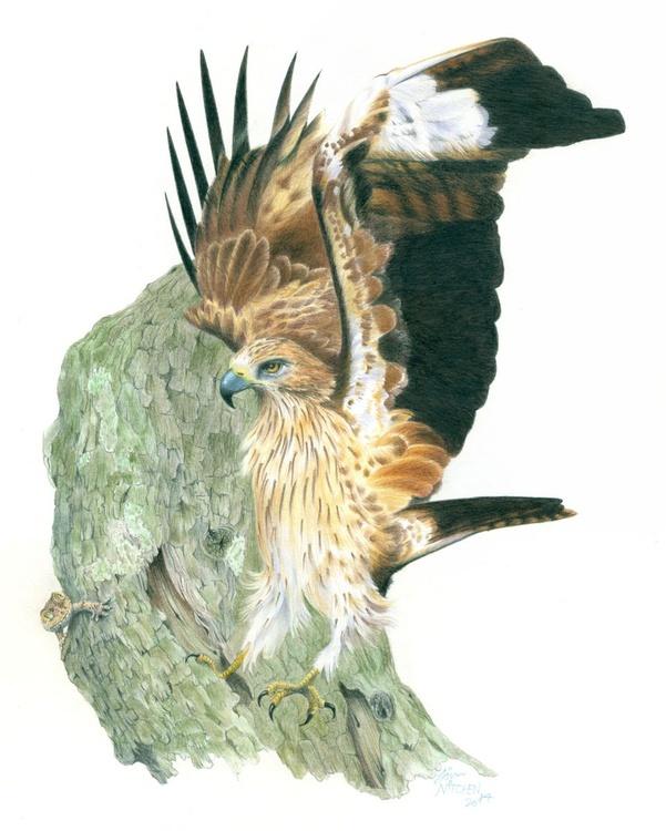 Booted Eagle - Image 0
