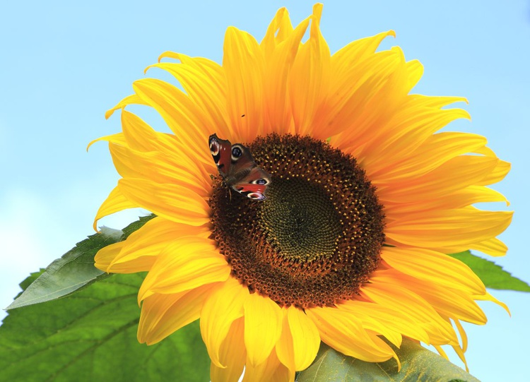 Sunflower Butterfly - Image 0