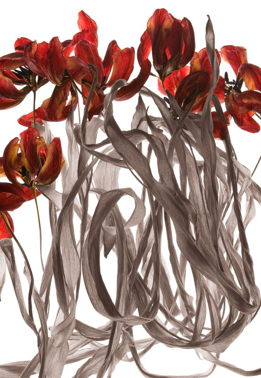 Red Tulips 1 - Image 0