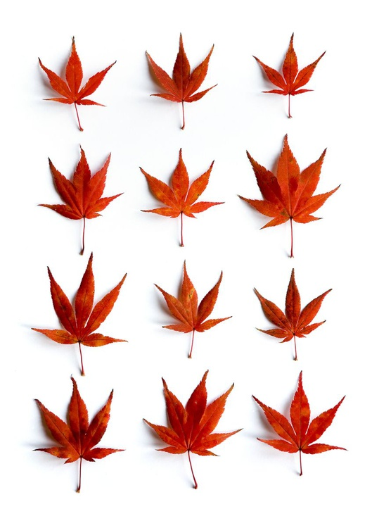 12 Acer leaves - Image 0